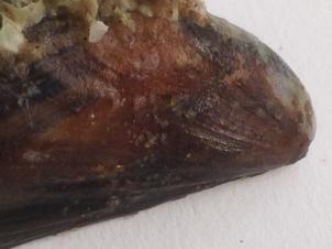 Mussel shell, Norfolk